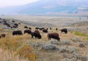 Yellowstone stock -1 by Carol-Moore