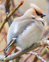 Bohemian Waxwing 03 by nordfold