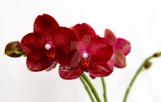 Phal Haur Jih Fancy - Pine Ridge Orchids by bana23
