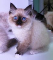 Gorgeous Seal Mitted Ragdoll kitten by Carameldreamsx