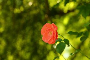 little red rose by hv1234