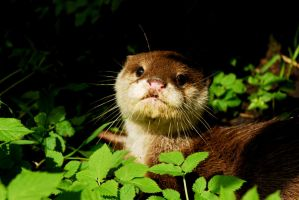 Little Otter by Shadow-and-Flame-86
