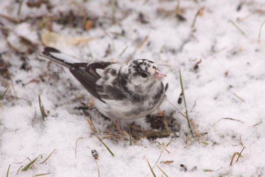 Funky Junco by dove-51