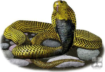 Southern Philippine Cobra by rogerdhall