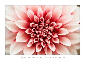 Red Dahlia by poraschaudhary