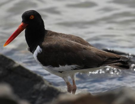 Stock | American Oystercatcher by ShadowsStocks