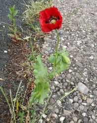 Red Flower on Pavement by Flashkirby-99