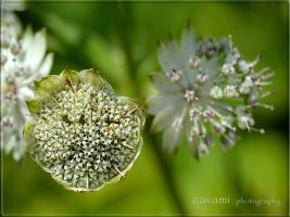 Astrantia major (Big Star Shield) by CaryAndFrankArts