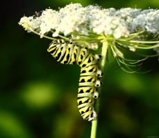 Caterpillar shot of the day by natureguy