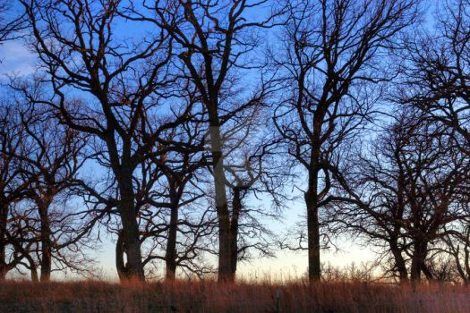 Leafless Trees HDR by lovethatnixter
