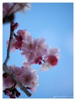 cherry blossom by Zyklotrop