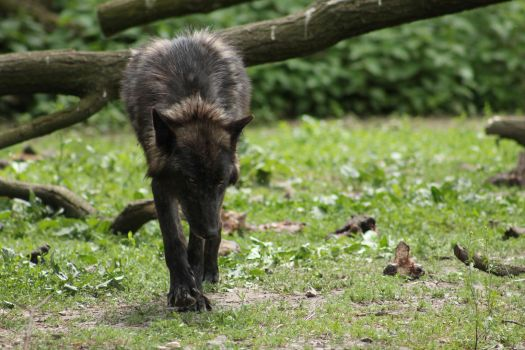 Black Wolf by Ylliny