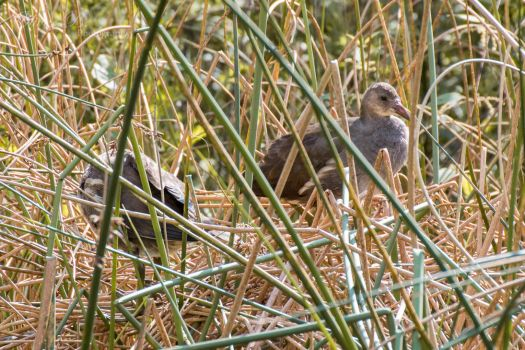 Moorhens by OliverBPhotography