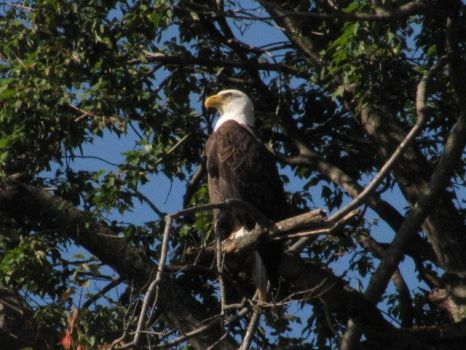Bald Eagle Spotting 2 by InkkyFikky