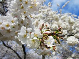 Cherry Blossoms 11 by zaphotonista