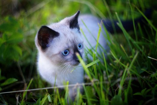 Siamese Cat by jestemradek