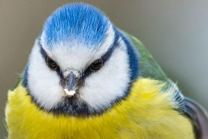 Blue Tit Close Portrait by WojciechGrzyb