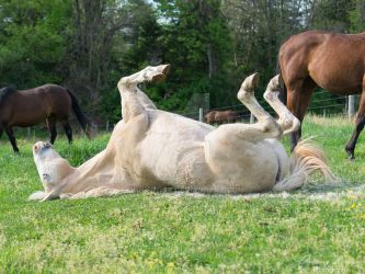 Rolling Quarter Horse - Stock by BHP-Stock