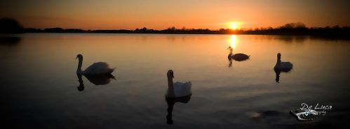 Swans at sunset by giampaolo-de-luca