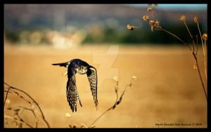 Merlin Falcon Hunting by prostudioimages