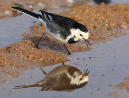 Pied wagtail by NurturingNaturesGift