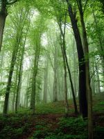 Beech forest: :2 by Ilharess