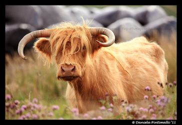Hieland Coo III by TVD-Photography