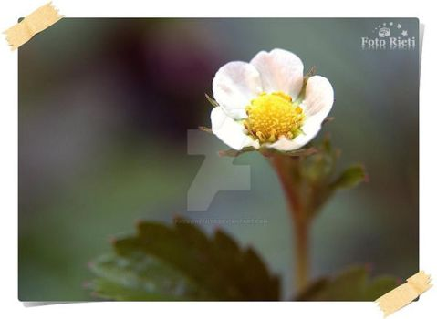 White Flower and innocence by passionefoto