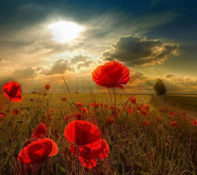 HAPPY REMEMBRANCE DAY - Field of Poppy's by ROGUE-RATTLESNAKE
