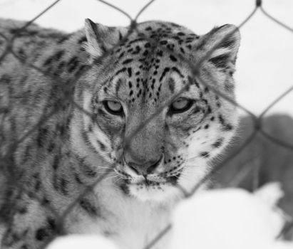 Snow Leopard VII by tjackson80