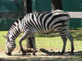 Zebra, grazing in the grass by Busted-Love