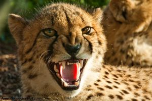 Angry Cheetah by amrodel