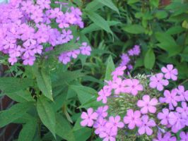 Garden Phlox by SmileForGooper