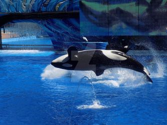 Sea World Orca by PioneeringAuthor