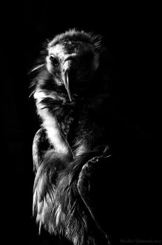 Vulture in Black (and White) by amrodel