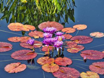 water lily by tl3319