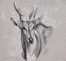 Common Eland Study by EclecticManta