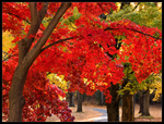 Go Under the Red Maple by Mogrianne