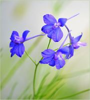blue bells by SvitakovaEva
