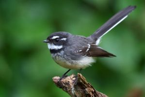 Grey Fantail by strictfunctor