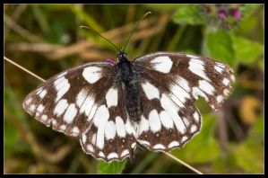 Marbled White by Wivelrod