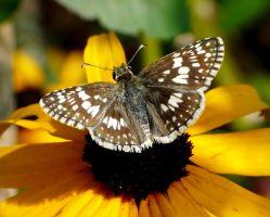 Checkered Skipper by duggiehoo