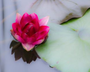Last Lotus by MMoreland