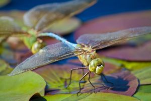 Green Darner with Mate by jvrichardson
