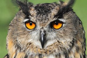 Eurasian Eagle Owl by cycoze