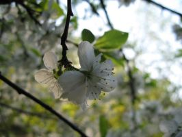 White flowers in a tree by Katarina-Mor