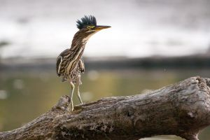 Juvenile Green Heron by madmoonhowl