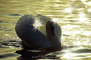 swan romance 18 by MT-Photografien
