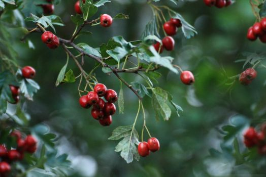 red berries by hv1234
