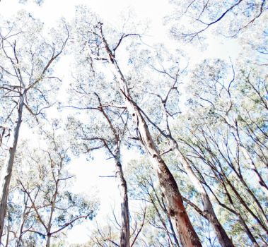 Gumtrees and sky 2, Trentham by dpt56